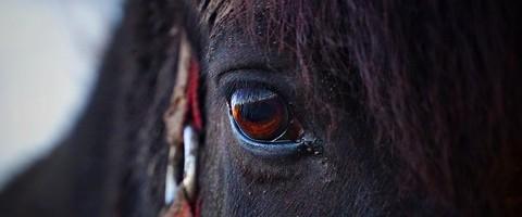 regard d'un cheval